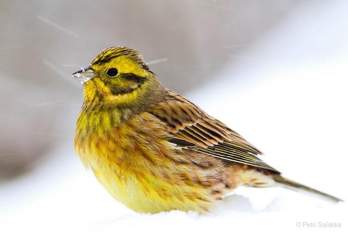 keltasirkku © Petri Salakka