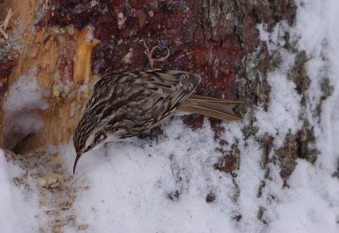 Puukiipijä (Certhia familiaris) metsäruokinnalla Ruokolahdella © Juha Juuti
