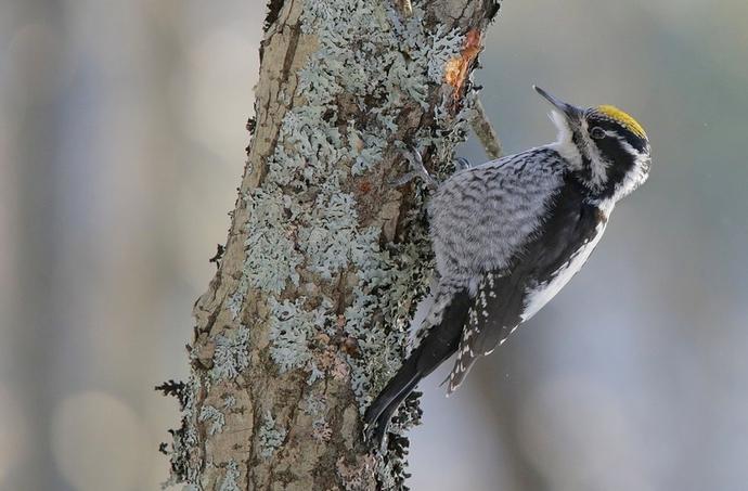 Pohjantikka (Picoides tridactylus) © Kauko Kauppinen