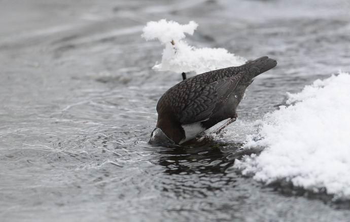 Koskikara (Cinclus cinclus) tähyilee ravintoa pinnan alta valmiina sukeltamaan.  © Esa Sojamo